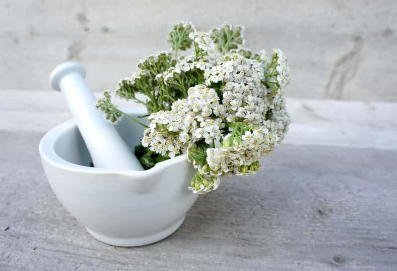 Kwiaty krwawnika pospolitego, z łac. Achillea millefolium, inaczej krwawnik lekarski - uprawa, własciwości liecznicze i zastosowanie