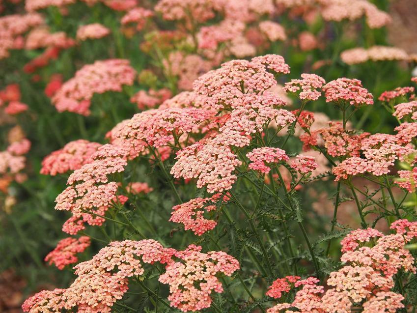 Krwawnik w ogrodzie to niekoniecznie białe kwiaty. Odmiany krwawnika o kwiatach różowych i brzoskwiniowych wspaniale pasują do każdego ogrodu i pięknie wyglądają na rabatach, zwłaszcza, kiedy rosną tak gęsto.