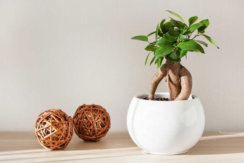 Przycinanie fikusa jest kluczowym zabiegiem, by stworzyć drzewko bonsai. Należy robić to kilka razy w roku, usuwając niewielkie części drzewka.