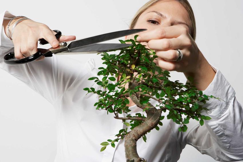 Fikus bonsai potrzebuje jasnego stanoiwska. Roślina lubi ciepło i źle reaguje na ruszanie i przestawianie, ponieważ to może doprowadzić do utraty liści.