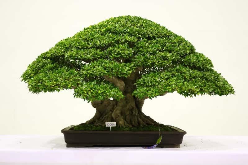 Miniaturowy ficus bonsai w doniczce, a także najważniejsze informacje: porady, ciekawostki, pielęgnacja, najlepsze gatunki i formowanie