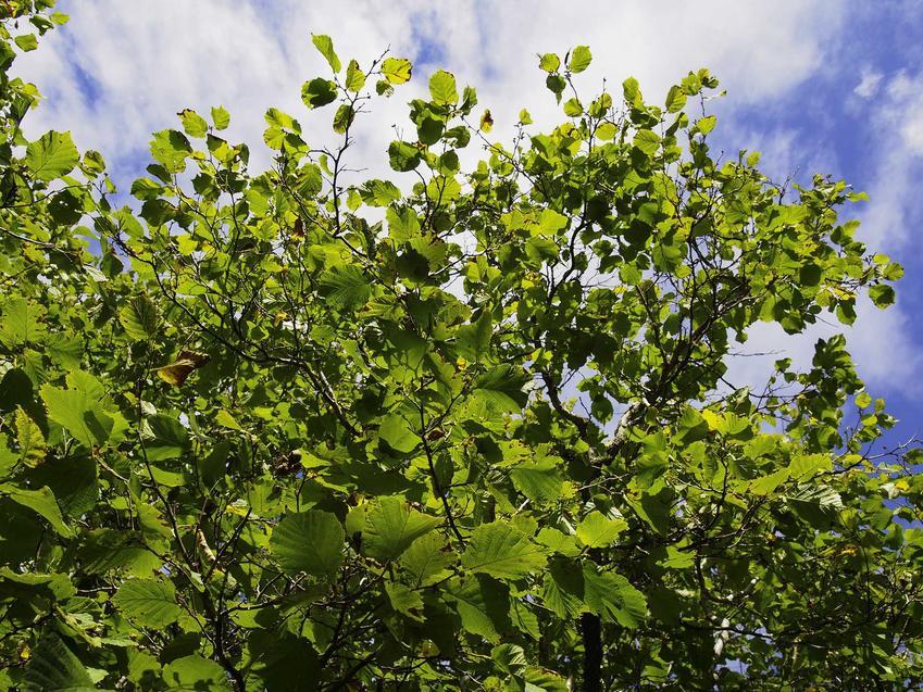 Leszczyna ma kilka odmian, z których większość jest bardzo trwała i mało podatna na mróz, niektóre z nich wyróżniają się plennością.