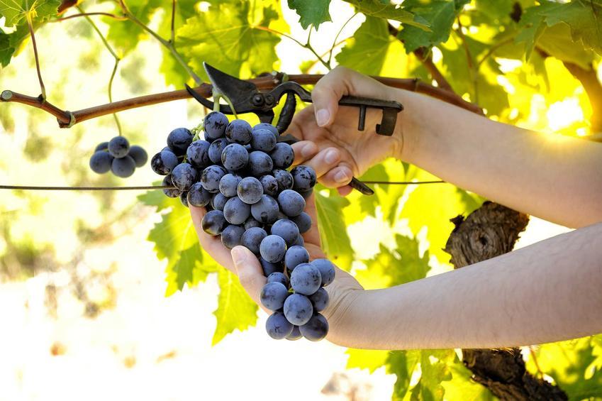 Pielęgnacja jest zależna od konkretnej odmiany winorośli. Zajmuje nieco czasu i wymaga wysiłku, ale przynosi dobre efekty