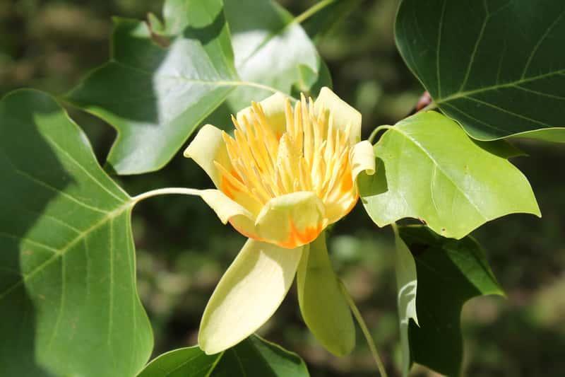 Kwiat tulipanowca w żółtym kolorze na drzewku, a także informacje o pielęgnacji, zastosowaniu i uprawie tulipanowców w ogrodzie