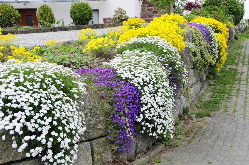 Smagliczka skalna fioletowa przepięknie prezentuje się we wszystkich ogrodach. Jest niezwykle atrakcyjna, a jej pielęgnacja nie jest wymagająca.