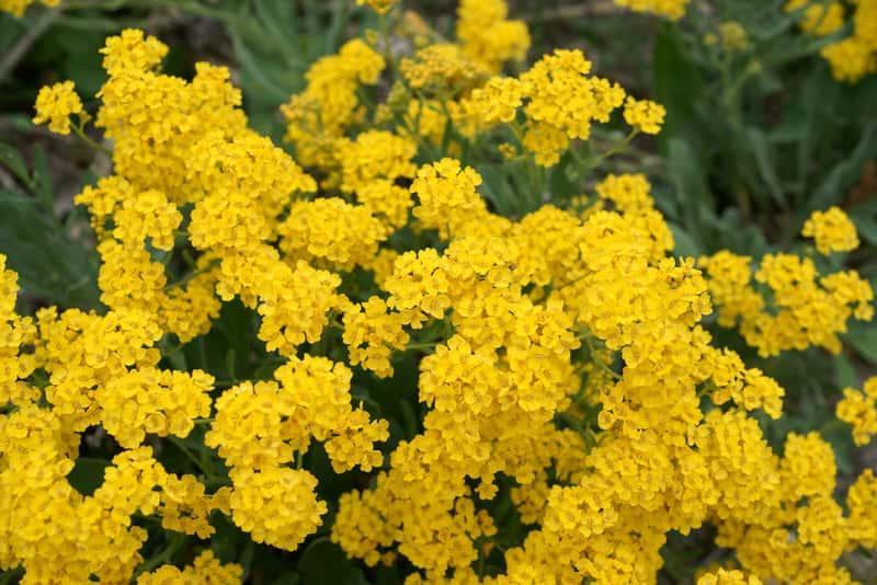 Smagliczka skalna o licznych żółtych kwiatach w ogrodzie skalnym, a także uprawa, odmiany, sadzenie i pielęgnacja