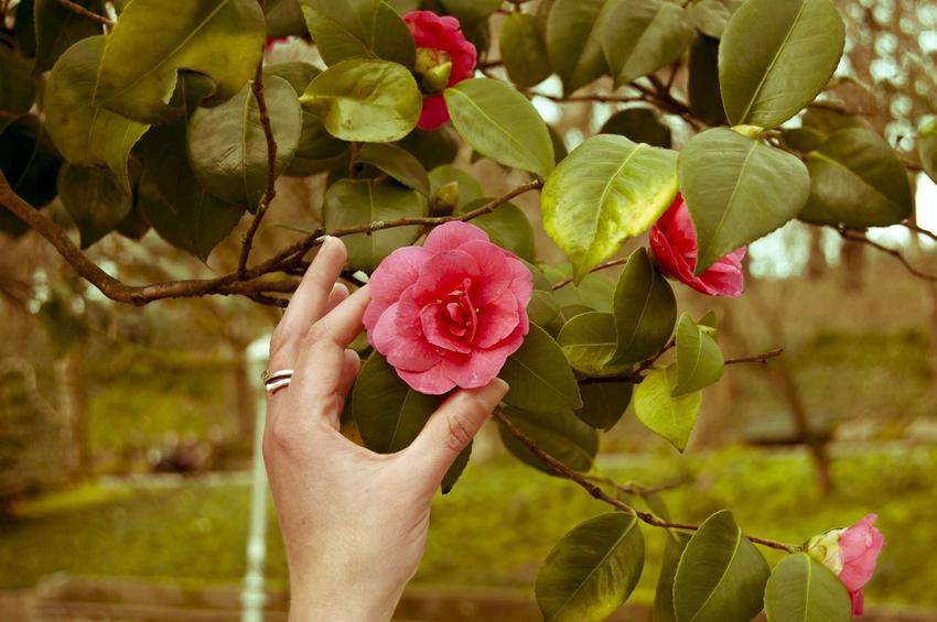 Kwiaty kamelii japońskiej w niewielkim bukieciku są niezwykłą dekoracją, zwłaszcza pomieszczeń i mebli w stylu rustykalnym