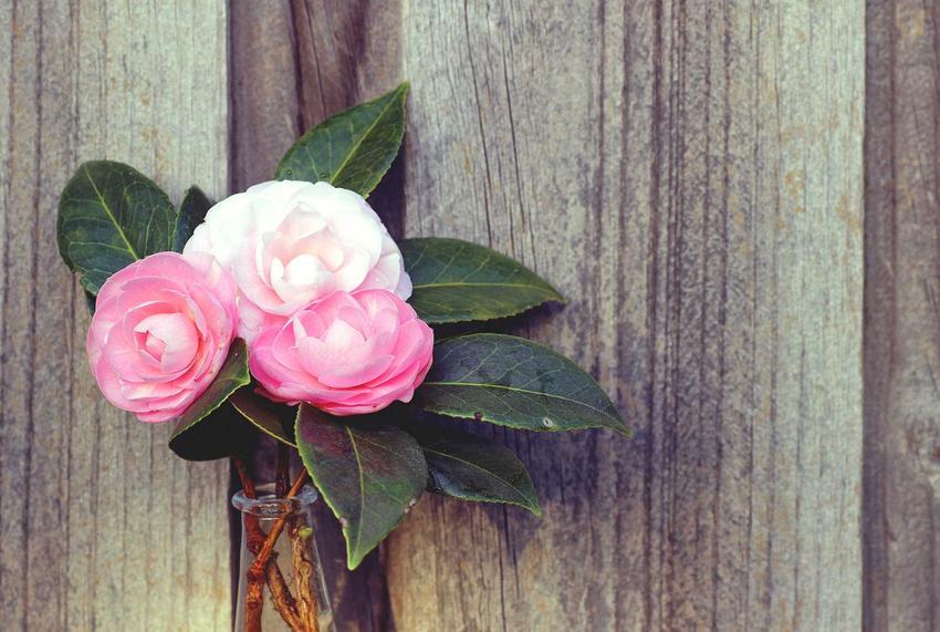 Kamelia japońska w ogrodzie obsypuje się drobnymi kwiatami różyczkowatymi w kształcie. Odpowiednie stanowisko do kamelii jest gwarancją obfitego kwitnienia.