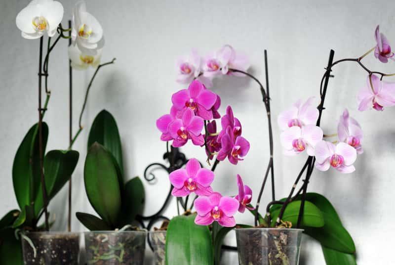 Kompozycja różnokolorowych storczyków , czyli uprawa, sadzenie, wymagania, stanowisko, pielęgnacja - porady oraz odmiany storczyków