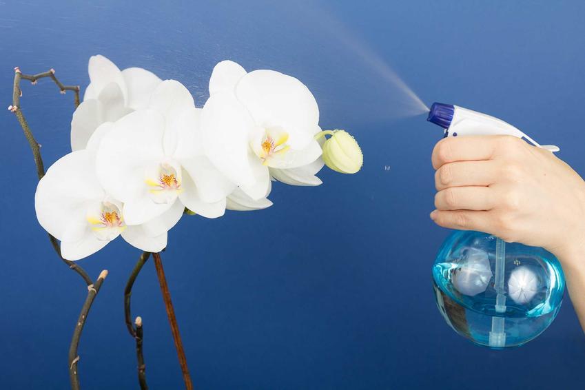 Falenopsis to jeden z najpiękniejszych storczyków. Jest niezwykle atrakcyjny, a jego uprawa nie powinna nastręczać problemów. Podlewanie storczyka powinno być dość obfite.