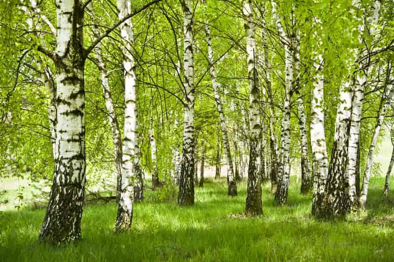 Las brzozowy - brzoza brodawkowata, czyli sadzenie, uprawa, pielęgnacja, warunki, stanowisko, porady