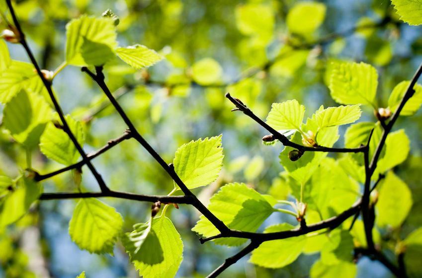 Liście brzozy brodawkowatej Fastigiata mają wspaniały kolor i bardzo ciekawą fakturę. Odmiana jest łatwa w pielęgnacji