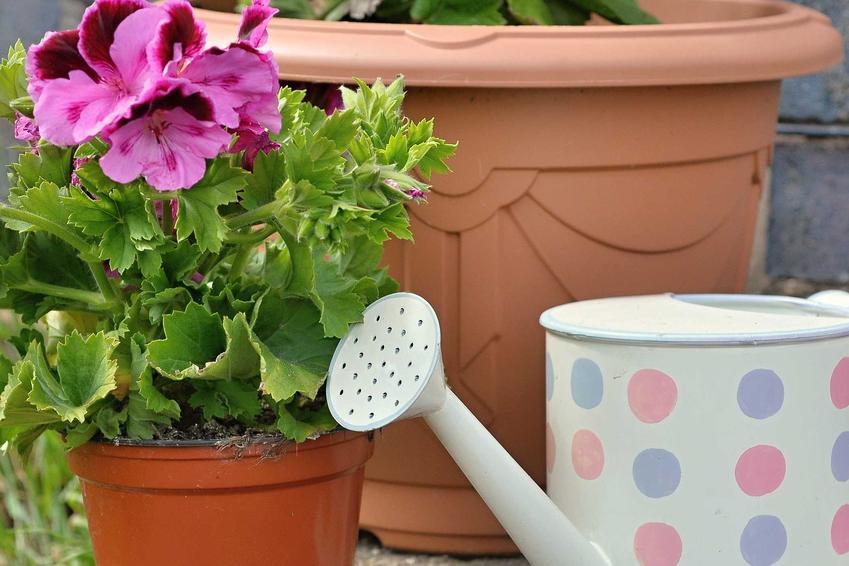 Podlewanie i pielęgnacja pelargonii angielskiej sprawia, że roślina przepięknie kwitnie przez bardzo długi czas. Jej piękne kwiaty wymagają także nawożenia