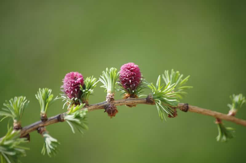 Kwiaty na modrzewiu europejskim, a także modrzew europejski w ogrodzie, pielęgnacja, sadzenie, uprawa