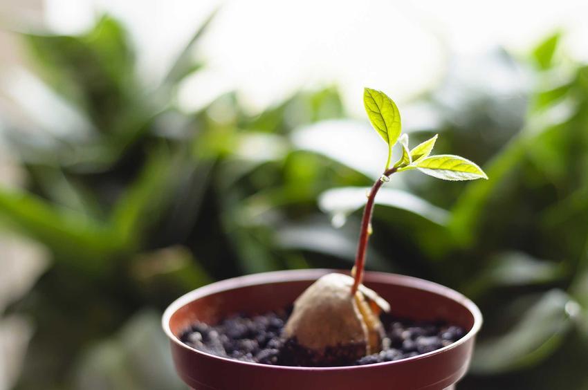 Umieszczona w ziemi sadzonka awokado dość szybko się przyjmuje. Ładnie się prezentuje, kiedy wypuszcza pędy, wtedy jej pielęgnacja jest dość wymagająca.