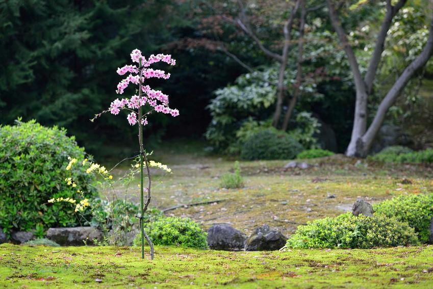 Brzoskwinia w ogrodzie to nie tylko praktyczne, ale też bardzo ładne drzewko, które zasługuje na uwagę przede wszystkim ze względu na swoje piękne kwiaty i łatwą pielęgnację