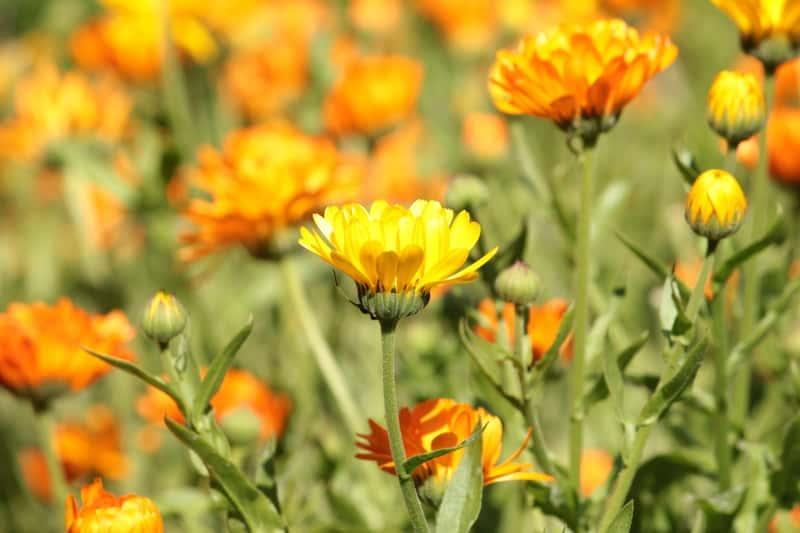 Żółtopomarańczowe kwiaty nagietka lekarskiegi, czyli z łac. Calendula officinalis, warunki uprawy, wysiew oraz wykorzystanie i własciwości lecznicze
