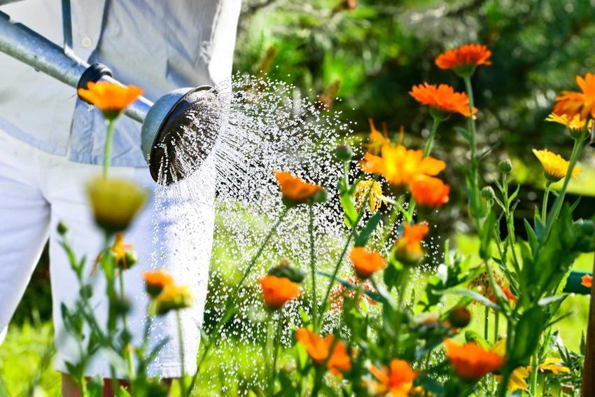 Podlewanie nagietka przeprowadza się rzadko. Roślina bardzo dobrze radzi sobie z suszą, jednak w czasie największych upałów potrzebuje wody.