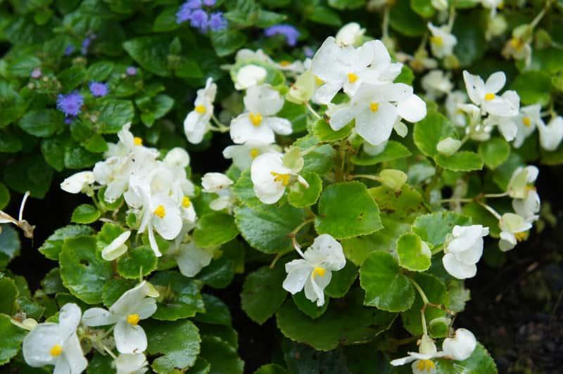 Begonia bulwiasta o białych kwiatach, a także białe i kolorowe odmiany begonii bulwiastej, ich wymagania, sadzenie i pielęgnacja