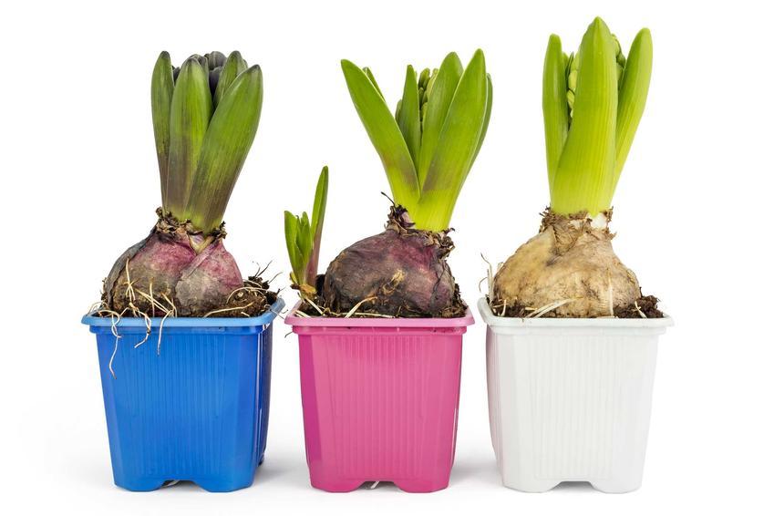 Hiacynty w kolorowych doniczkach, a także podlewanie, pielęgnacja, sadzenie, uprawa w ogrodzie i w domu