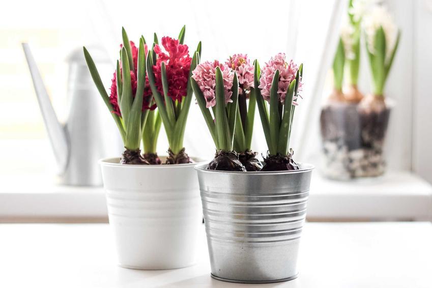 Hiacynty w blaszanej i porcelanowej doniczce, a także podlewanie, pielęgnacja, uprawa w ogrodzie i w domu krok po kroku