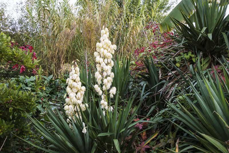 Juka ogrodowa - pielęgnacja, podlewanie i przesadzanie popularnej rośliny domowej