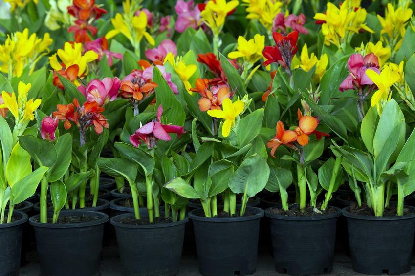 Kanna może być uprawiana w doniczkach lub w ogrodzie. Warto zrobić wcześniej sadzonki w małych doniczkach, dzięki czemu łatwiej będzie je sadzić.