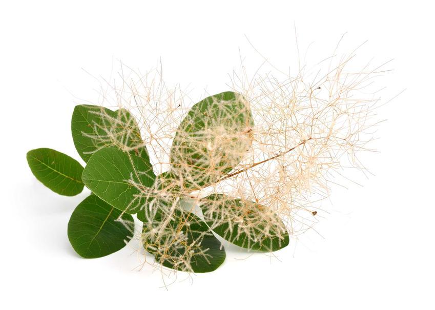 Perukowiec podolski to jeden z najciekawszych krzewów i drzewek ozdobnych. Ma oryginalny kwiatostan, a jego uprawa nie jest wymagająca.