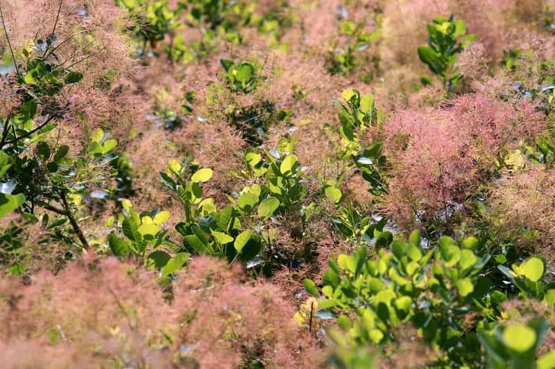 Różowe kwiatostany perukowca podolskiego, a także uprawa rośliny, pielęgnacja, sadzenie, wymagania, podlewanie i odmiany