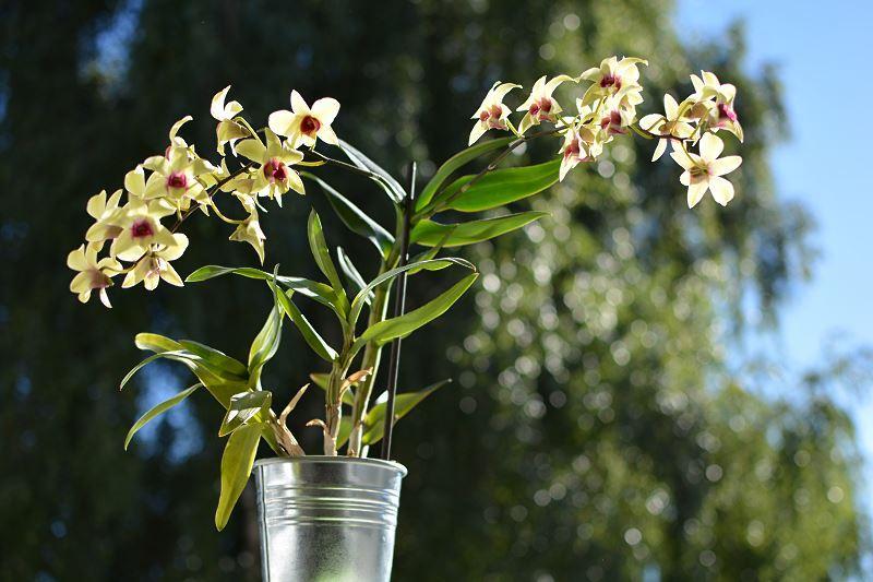 Dendrobium nobile - pielęgnacja, rozmnażanie i przycinanie tego wyjątkowego storczyka