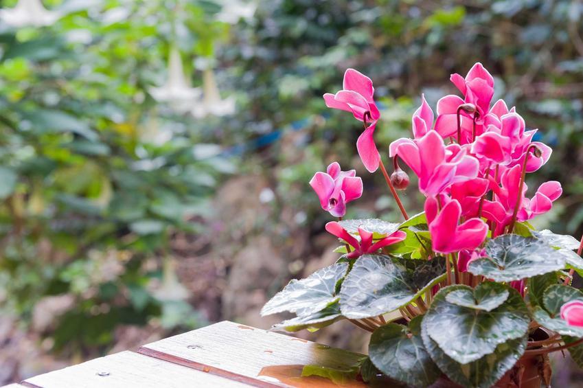 Sadzenie i pielęgnacja fiołka alpejskiego, czyli cyklamenu, nie jest trudne. Roślina przepięknie się prezentuje i jest odpowiednia dla początkujących ogrodników.