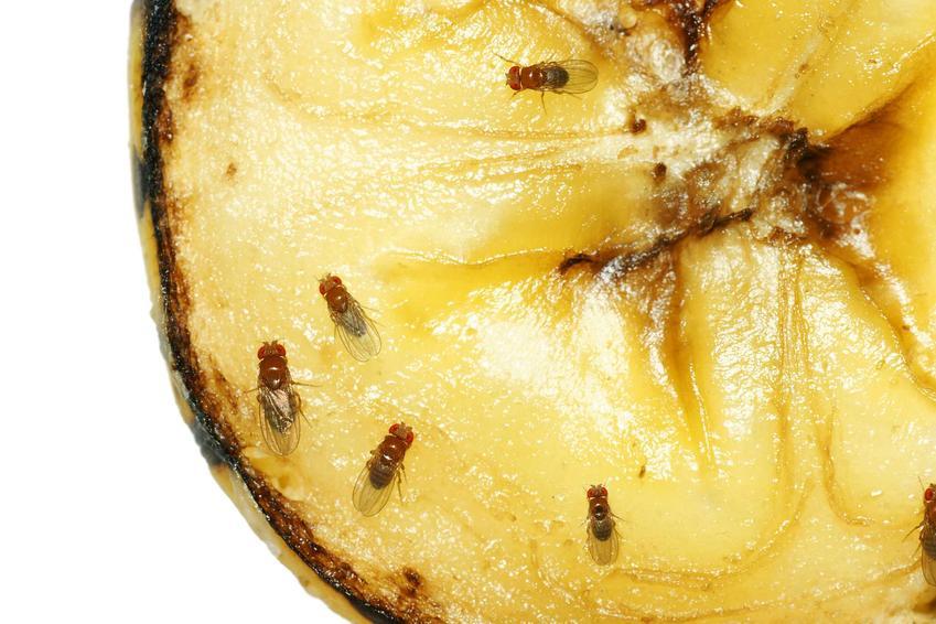 Muszki owocówki liczne siedzące na bananie, na zdjęciu widoczny tylko kawałek banana na białym tle