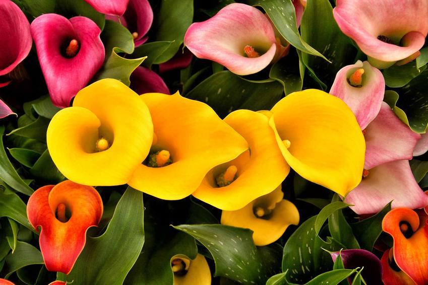 Kalia Doniczkowa Kwiat Ktory Ucieszy Kazdy Dom Pielegnacja Podlewanie Porady