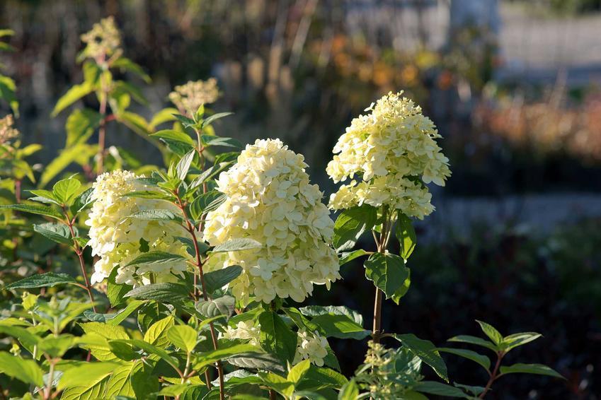 Różne gatunki i odmiany hortensji pnącej wspaniale prezentują się w ogrodzie. Roślina jest bardzo popularna w Polsce, tym bardziej że uprawa hortensji jest łatwa