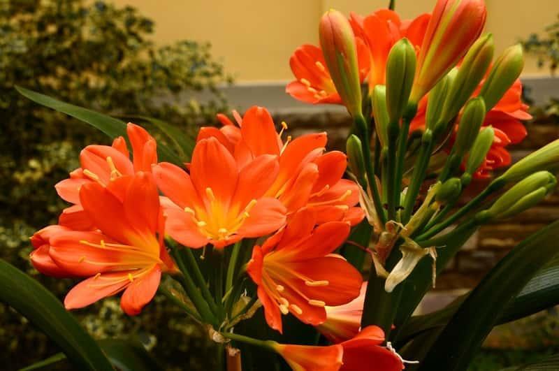 Kwitnąca kliwia pomarańczowa, czyli clivia miniata, warunki uprawy, wymagania, sadzenie oraz pielęgnacja kwiatów doniczkowych