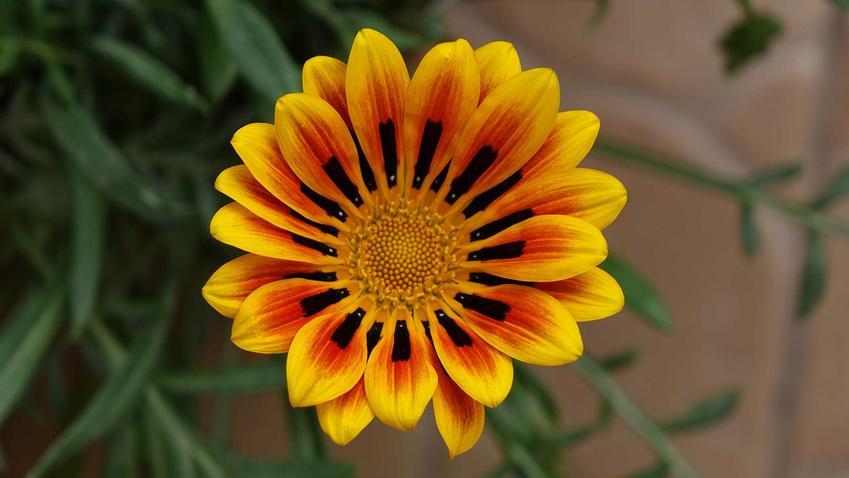 Gazania najczęściej ma czyste, bardzo intensywne kolory. Odmiana o jasnożółtym kolorze kwiatów i ciemnobrązowych wstawkach są bardzo oryginalne i interesujące.