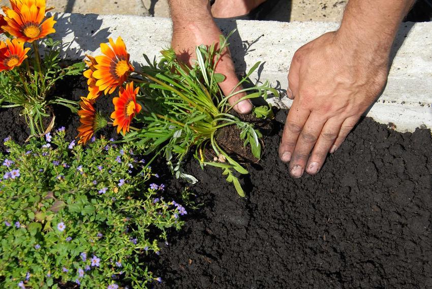 Sadzenie gazani w odpowiednim miejscu znacznie ułatwia pielęgnację. Roślina powinna mieć starannie wybrane miejsce