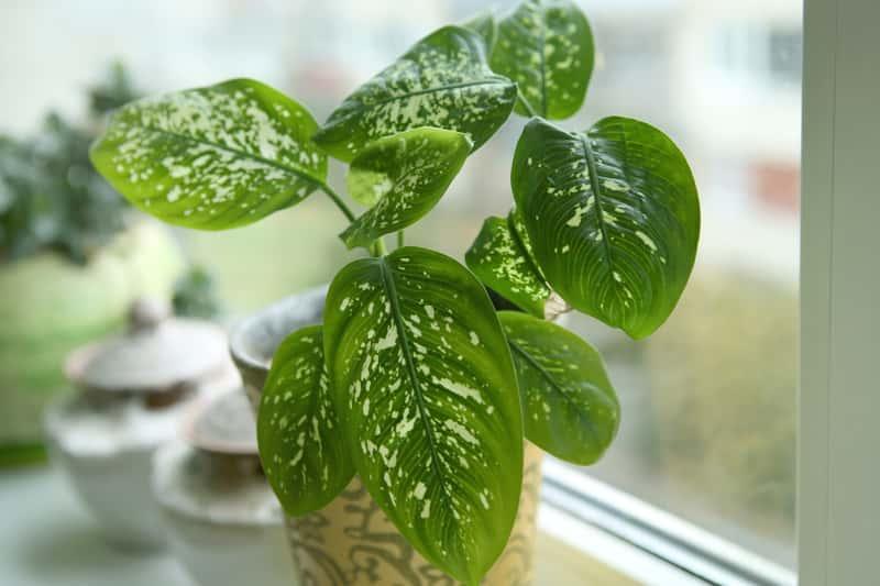 Difenbachia o zielonych liściach w doniczce, a także uprawa, choroby i rozmnażanie w domowych warunkach i zasady pielęgnacji