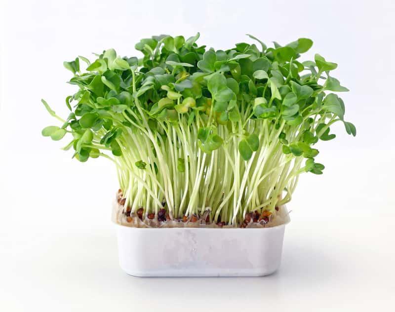 Rukiew wodna - sadzenie, uprawa, właściwości, zastosowanie