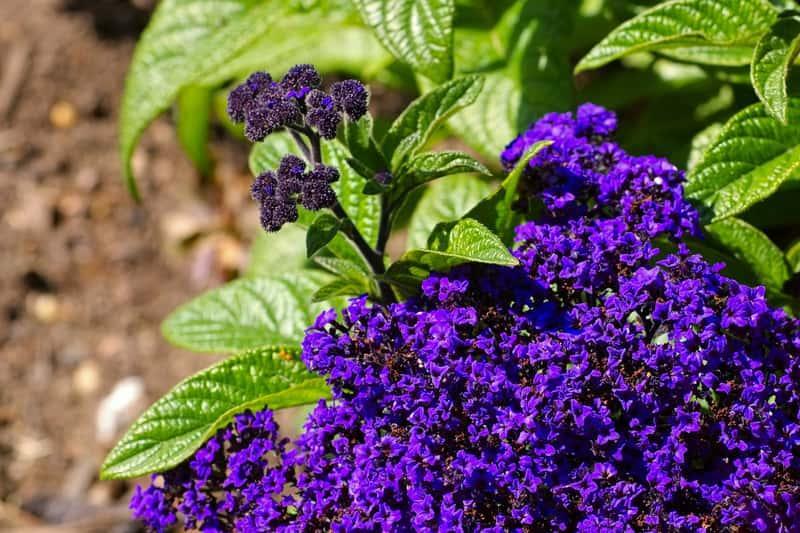 Heliotrop peruwiański o ciemnoniebieskich kwiatach, a także pielęgnacja, zastosowanie, uprawa w ogrodzie krok po kroku
