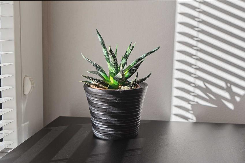 Aloes drzewiasty w doniczce na parapecie to wspaniała ozdoba. Uprawa rośliny nie jest trudna, warto więc zaprosić sukulenta do naszego mieszkania.