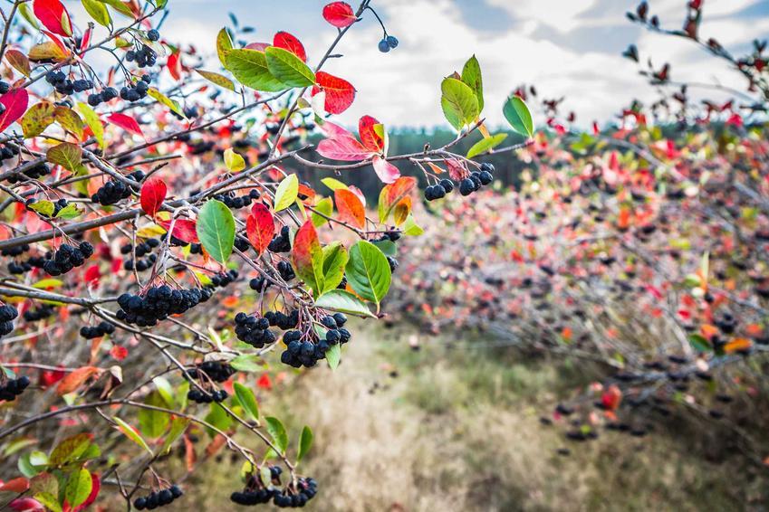 Krzewy aronii jesienią są obwieszone drobnymi czarnymi kuleczkami owoców. Ich zbiór można przeprowadzić już w pierwszym roku po posadzeniu.