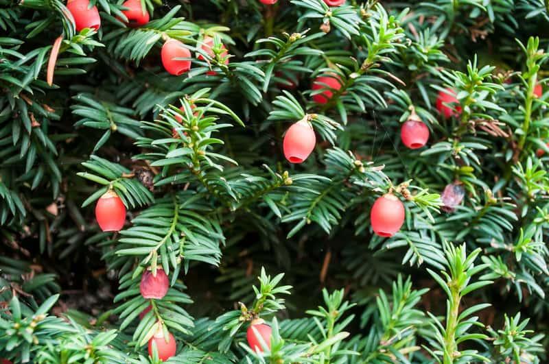 Gałązki cisu pospolitego z owocami, warunki uprawy, wymagania, pielęgnacja drzewa ozdobnego oraz wykorzystanie drewna cisowego
