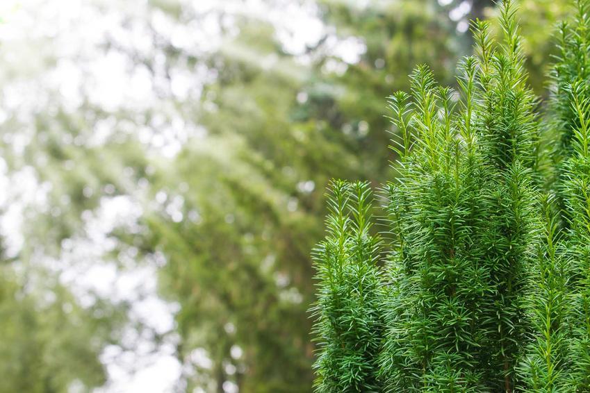 Najpopularniejsze odmiany cisu w Polsce są bardzo atrakcyjne. Cis kolumnowy nadaje się do zastosowania nawet w małych ogrodach, inne odmiany wymagają lepszego stanowiska.