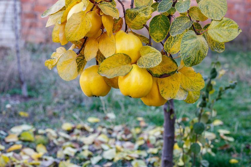 Pigwa pospolita to bardzo ładne, oryginalne i atrakcyjne drzewko. Ma piękne, pomarańczowe kwiaty