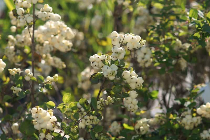 Białe owoce śnieguliczki na krzewie, a także śnieguliczka i jej odmiany, sadzenie, pielęgnacja, uprawa i zastosowanie krok po kroku
