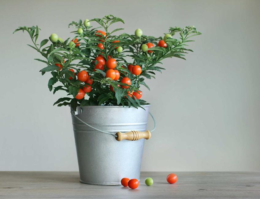 Jak samodzielnie uprawiać pomidory koktajlowe w domu czy na balkonie?