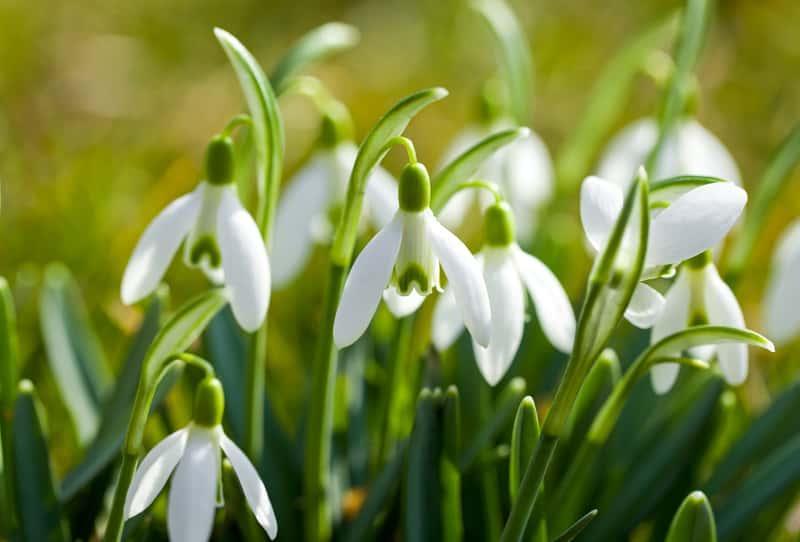 Śnieżyczka przebiśnieg o delikatnych białych kwiatach, a także sadzenie, pielęgnacja, podlewanie, okres kwitnieia i uprawa