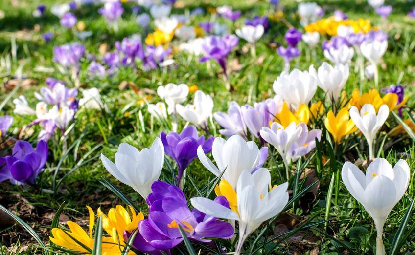 Krokusy na trawniku przepięknie się prezentują. Sadzenie jest bardzo proste. Pielęgnacja roślin nie jest trudna, a pięknie się prezentują wiosną