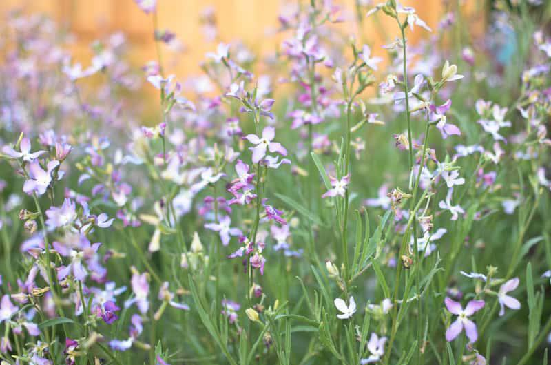 Fioletowe kwiaty maciejki, czyli lewkonii letniej, a także odmiany, sadzenie, pielęgnacja oraz uprawa lewkonii w ogrodzie i w donicach